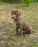 Dog of the german sort Kurzhaar Stock Images