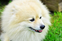Dog German Spitz Stock Photography