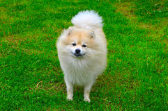 Dog German Spitz Stock Photography
