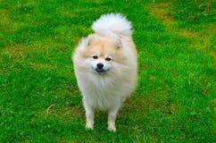 Dog German Spitz. Beautiful dog, a German Spitz in nature Stock Photography