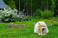 Dog German Spitz Stock Photos