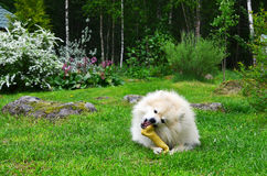 Dog German Spitz Royalty Free Stock Photography