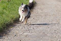 Dog in Germany. Nature walk animal aussie auszralian shepherd Stock Images