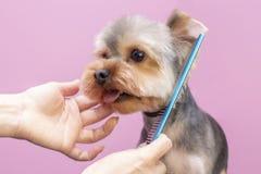 Free Dog Gets Hair Cut At Pet Spa Grooming Salon. Closeup Of Dog. Royalty Free Stock Photo - 169327605