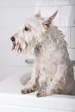 Dog getting a bath. White schnauzer dog getting a bath at pet grooming salon Royalty Free Stock Photo