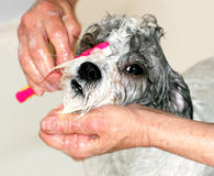Dog getting bathed Stock Photography