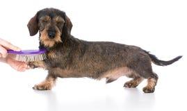 Dog getting brushed Stock Image