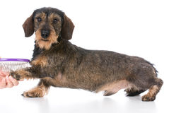 Dog getting brushed Stock Images