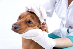 Dog getting ear cleaned Royalty Free Stock Images