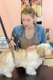 Dog getting hair cut at dog grooming salon royalty free stock images