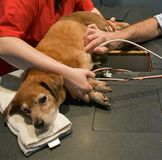 Dog Getting A Heart Ultrasound at Vet Stock Images