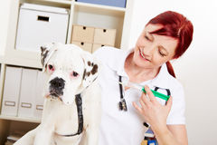 Dog getting immunization from. Boxer dog getting immunization from veterinarian with a syringe royalty free stock photo