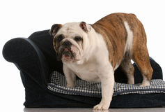 Dog getting off dog bed Stock Photography