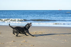 Dog getting ready to catch a ball on the beach. Black Labrador dog getting ready to jump up to catch a ball on the beach Stock Images