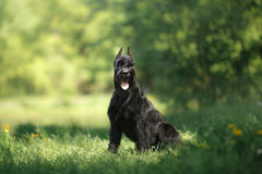 Dog Giant Schnauzer. Pet walking in a summer park royalty free stock photo
