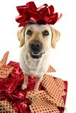DOG GIFT. LABRADOR SITTING OVER RED WRAPPING PAPER WITH A RED BOW ON HEAD. PUPPY OR PET PRESENT FOR CHRISTMAS CONCEPT. DOG GIFT. LABRADOR SITTING OVER RED royalty free stock photography