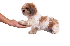 Dog Give Hand Isolated On White Stock Photography