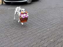 The dog gives flowers Royalty Free Stock Photo