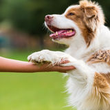 Dog gives a girl the paw. Australian Shepherd dog gives a girl the paw Stock Photos