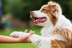 Dog gives a girl the paw. Australian Shepherd dog gives a girl the paw Stock Photography