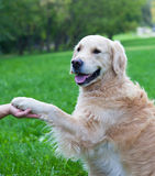 Dog gives a paw Royalty Free Stock Photo
