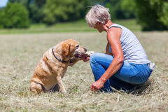 Dog gives the paw to a woman. Labrador retriever gives the paw to a mature woman, sitting in a hay field Royalty Free Stock Photography