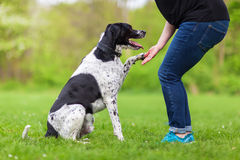Dog gives a woman the paw Stock Image