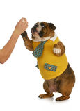 Dog giving high five. High five - hand of person giving high five to english bulldog standing Stock Photos