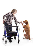 Dog giving high five to disabled person. Golden dog on rear legs hods paw in the palm of a disabled person with a walking aid Royalty Free Stock Image