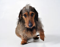 Dog giving a paw Royalty Free Stock Photography