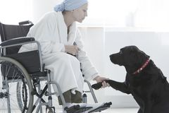 Dog giving paw disabled woman. Sitting with dressing-gown in wheelchair at hospital Stock Images
