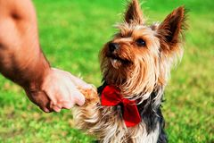 Dog giving a paw. Grass background Stock Photo