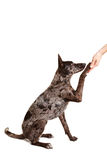 Dog giving paw into hand Royalty Free Stock Photos