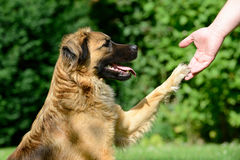 Dog giving paw Stock Photos