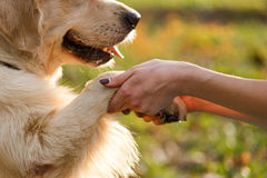 Dog giving paw to person Stock Photos