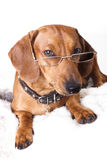 Dog in glasses Stock Photos