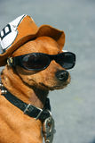 Dog with glasses Royalty Free Stock Image