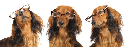 Dog in glasses. Longhair dachshund dog wearing glasses Stock Photo