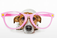 Dog with glasses Stock Photo