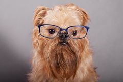 Dog  in  glasses Stock Photography