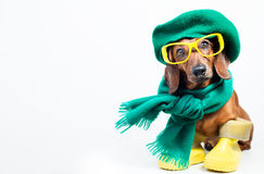 Dog in glasses Royalty Free Stock Image