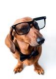 Stylish dog Stock Images