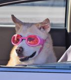 Dog with glasses in a car window. White dog with pink glasses in a car window Royalty Free Stock Photo