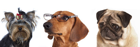Dog  glasses close-up Stock Image