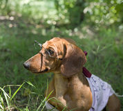 Dog with glasses Stock Image