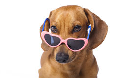 Dog in glasses Stock Image