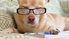 The dog with glasses. Education concept. Light brown Labrador dog in glasses with black rim on the couch looks around, lying on a notebook. Smart dog. Muzzle stock footage