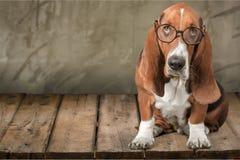Dog. Glasses Humor Intelligence Animal  Cute Royalty Free Stock Image