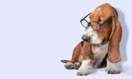 Dog. Glasses Humor Intelligence Animal Isolated Cute Stock Photos