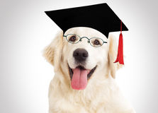 Dog in glasses and master`s cap Royalty Free Stock Photo